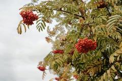 Яркие, сочные, зрелые ягоды рябины на предпосылке Стоковые Фото