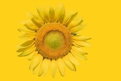 Яркие солнцецветы на желтой предпосылке Стоковое фото RF