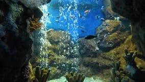 Яркие тропические рыбы плавают в чисто воде, подъемах пузырей кислорода сток-видео