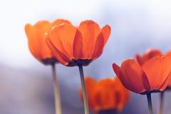Яркие тюльпаны с тонизировать красивейшая весна цветков Стоковые Фотографии RF