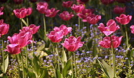 яркие тюльпаны Стоковое фото RF
