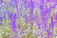 Яркие фиолетовые лаванды в зеленом поле Стоковое фото RF