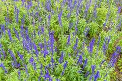 Яркие фиолетовые лаванды в зеленом поле Стоковые Фото