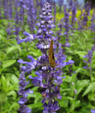 Яркие фиолетовые лаванды с бабочкой Брайна Стоковое Фото