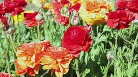 Яркие цветки лютика акции видеоматериалы