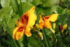 Яркие цветки hemerocallis Стоковые Изображения