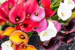 Яркие цветя цветеня лилии calla Стоковая Фотография