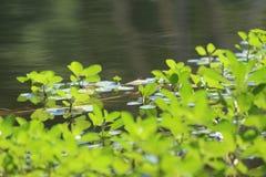 Яркие ые-зелен акватические заводы озера Стоковые Фото