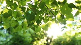 Яркие ые-зелен листья на дереве, освещенном по солнцу сток-видео