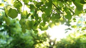 Яркие ые-зелен листья на дереве, освещенном по солнцу видеоматериал