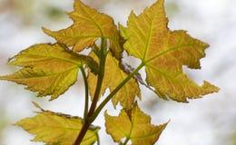 Яркие ые-зелен перекрывая кленовые листы весной вверх по близкой стоковая фотография