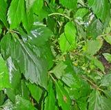 Яркие ые-зелен влажные листья виноградины с дождевыми каплями Стоковое Изображение RF