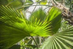 Яркие ые-зелен листья ладони Стоковые Изображения RF