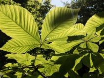 Яркие ые-зелен листья каштана в backlight Стоковое Изображение