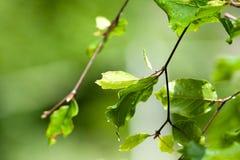 Яркие ые-зелен листья от дерева бука Стоковые Фотографии RF