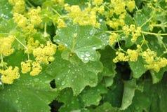 Яркие ые-зелен листья с waterdrops после дождя Стоковые Изображения RF
