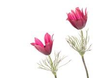 Яркие patens Pulsatilla цветков Стоковые Фотографии RF