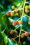 Яркие raspberrys стоковое фото