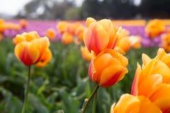 Яркие variegated золотые оранжевые тюльпаны в поле оранжевых и розовых расплывчатых тюльпанов Стоковое Изображение RF
