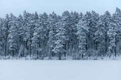 Яркий белый лес покрытый с заморозком и снегом Стоковое Изображение