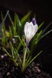 Яркий белый крокус под солнцем Стоковое Фото