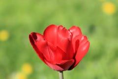 Яркий, весна, sunlit тюльпан на предпосылке свежей зеленой травы стоковое фото rf