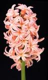 Яркий гиацинт абрикоса Стоковые Фотографии RF