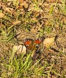 Яркий глаз павлина бабочки среди первой травы стоковое изображение rf