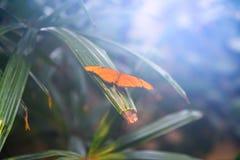 Яркий диффузный солнечный свет понижаясь на оранжевую бабочку Джулии стоковое изображение