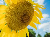 Яркий, желтый конец солнцецвета вверх Стоковая Фотография RF