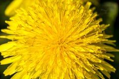Яркий желтый одуванчик весной изображение наушников черноты близкое изолировало пусковую площадку микрофона мягко вверх по белизн стоковые фотографии rf