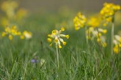 Яркий желтый расти цветков cowslip среди зеленой травы стоковая фотография rf
