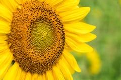 Яркий желтый солнцецвет вверх по концу с зеленой естественной предпосылкой стоковое фото rf