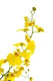 яркий желтый цвет орхидеи oncidium Стоковые Фото