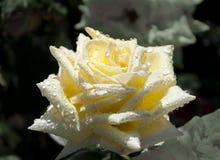 яркий желтый цвет розы падений росы Стоковые Изображения