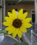 яркий желтый цвет солнцецвета Стоковая Фотография