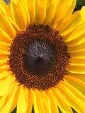яркий желтый цвет солнцецвета Стоковое Изображение RF