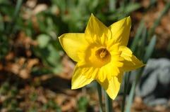 яркий желтый цвет daffodil Стоковое фото RF