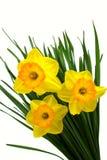 яркий желтый цвет daffodils стоковое фото rf
