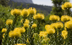 яркий желтый цвет proteas pincushion стоковое изображение