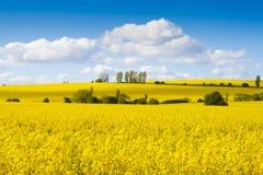яркий желтый цвет rapeseed цветков полей Стоковые Фотографии RF