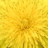 Яркий желтый конец одуванчика вверх предпосылка birdies вал весны пар bloosom сказовый флористический Взгляд сверху яркого желтог Стоковые Фото