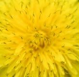 Яркий желтый конец одуванчика вверх предпосылка birdies вал весны пар bloosom сказовый флористический Взгляд сверху яркого желтог Стоковое Изображение RF