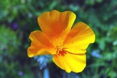 Яркий желтый мак цветка Стоковые Фотографии RF