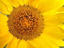 Яркий желтый цветок предпосылки солнцецвета Стоковая Фотография