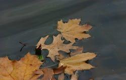 Яркий желтый цвет выходит на воду в парк в осень Стоковое фото RF