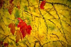 Дерево желтой сосенки Стоковые Изображения RF
