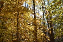 яркий желтый цвет листва падения Стоковое Изображение RF