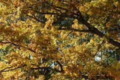 яркий желтый цвет листва падения Стоковое Фото