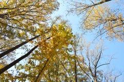 яркий желтый цвет листва падения Стоковые Изображения RF